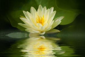 Il loto nasce nel fango e fiorisce come simbolo di purezza.