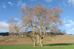 tre alberi tre grazie