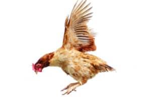 volo-gallina