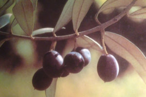 albero-olivo-naming
