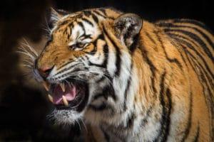 tigre-corrispondenza-logogenesi