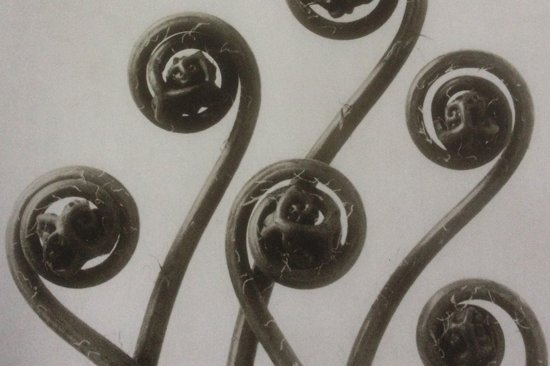 Blossfeldt-foto-fabbro-logogenesi