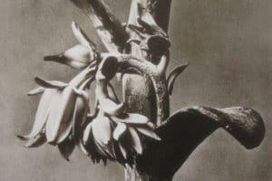 ombelico-venere-blossfeldt