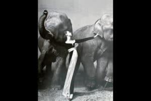 Avedon-elefanti